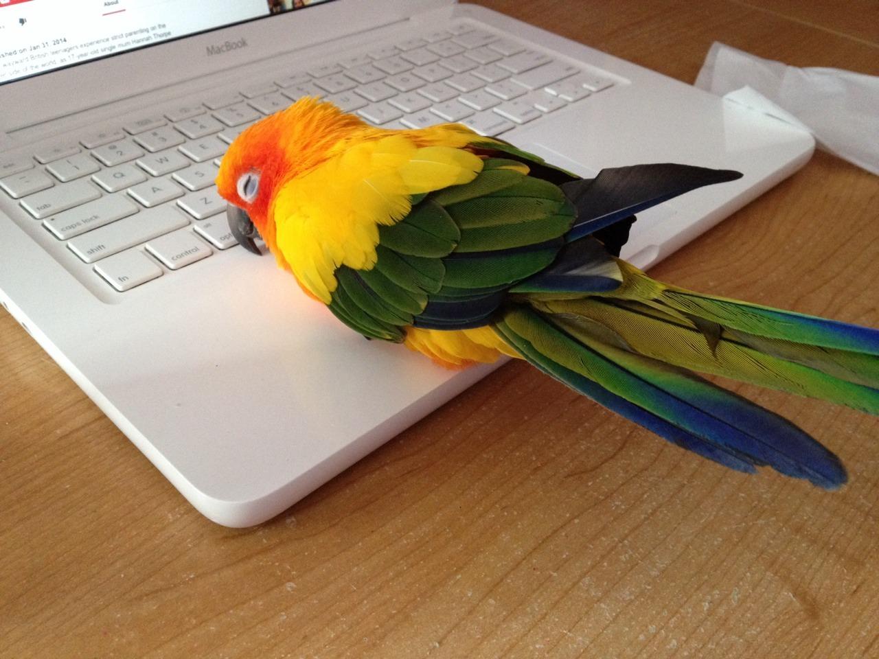 Сделать, прикольные картинки попугаев